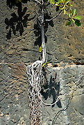 A Moreton Bay Fig (Ficus macrophylla) taking root in rock wall. Sydney, Australia