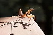 An older praying mantis angles sideways in a defensive posture. Altadena, California.