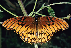 Mexican Silver-spotted Fritillary