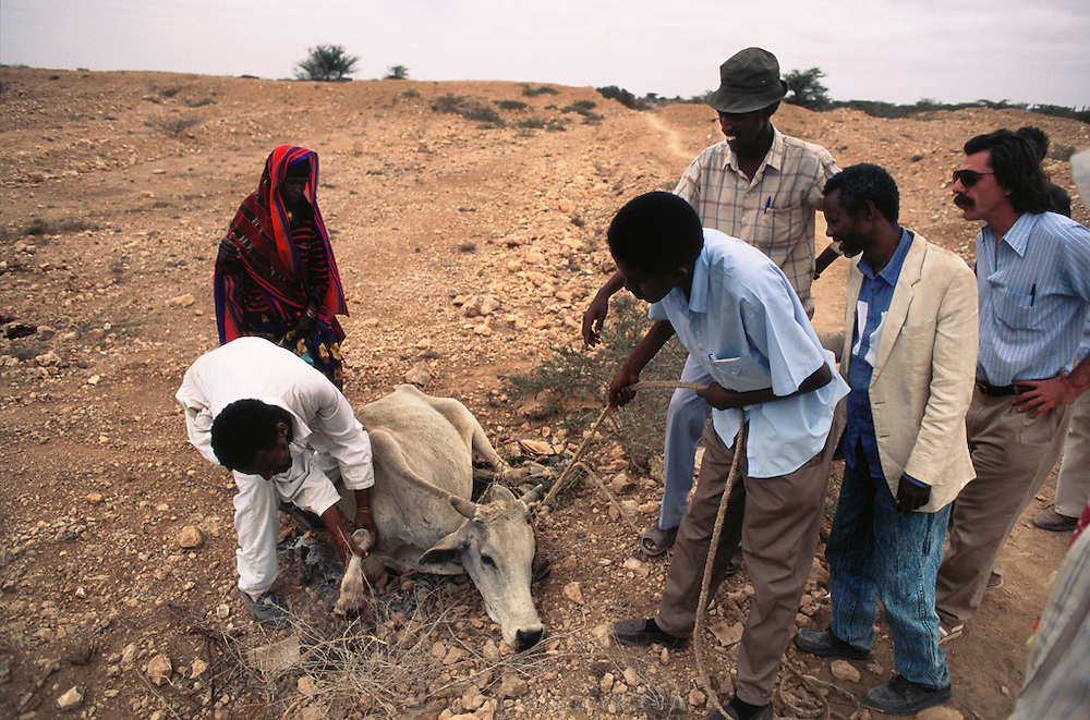 """A de-mining crew helping a woman whose cow had stepped on a landmine. The injured cow was dragged to a """"safe"""" path, but had to be slaughtered.  Hargeisa, Somaliland. Somaliland is the breakaway republic in northern Somalia that declared independence in 1991 after 50,000 died in civil war."""