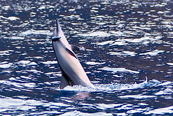 Hawaiian spinner dolphin, Stenella longirostris longirostris, young, jumping vigorously to shake off remora from its eye area, Kealakekua Bay Marine Preserve, Kona Coast, Big Island, Hawaii, USA, Pacific Ocean