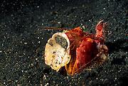 Geschickt nutzt der Fangschreckenkrebs (Lysiosquillina lisa) seine großen Fangbeine, um Gegenstände zu manipulieren. Störendes wird beiseite geräumt, Anderes wiederum zur Tarnung des Höhleneinganges verwendet. | Mantis Shrimp (Lysiosquillina lisa)