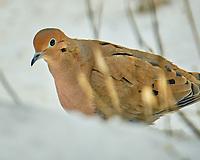 Mourning Dove (Zenaida macroura). Image taken with a Fuji X-H1 camera and 100-400 mm OIS lens.