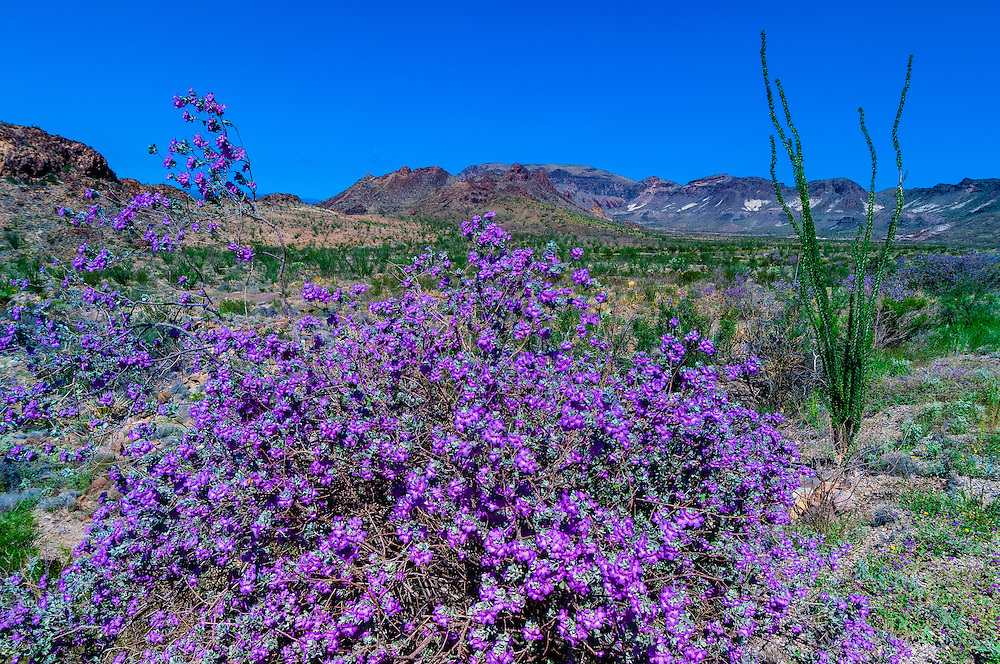 Flowering plants and ocotillos, Ross Maxwell Scenic Drive, Chihuahuan Desert, Big Bend National Park, Texas USA.