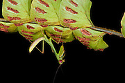 Praying Mantis (Mantidae)<br /> Yasuni National Park, Amazon Rainforest<br /> ECUADOR. South America