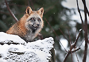 Red Fox (captive), Alaska