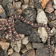 Eastern milk snake Lampropeltis triangulum triangulum. found in Bridgton, Maine.
