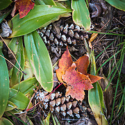 Nature photograph of autumn leaves and pinecones on the forest floor.