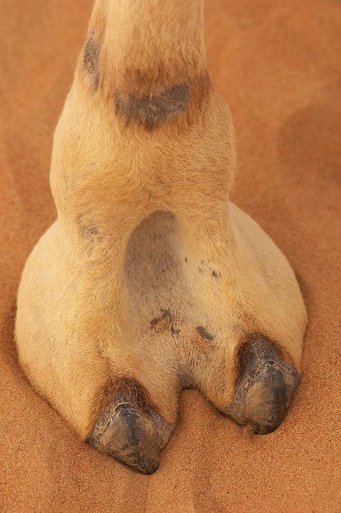 Dromedary camel foot,  Camelus dromedarius, Dubai Desert Conservation Reserve, Dubai