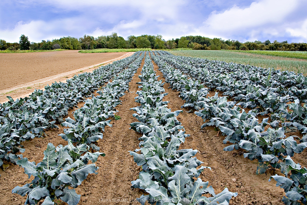 Photo of neat, straight, weed-free rows of broccoli plants growing on the Sosnicki organic farm in Waterford, Ontario, Canada..