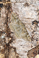 Mottled Beauty Alcis repandata Wingspan 35-38mm. A variable moth whose wing markings are a good match for tree bark. Rests with its wings spread flat. Adult has pale grey-brown or sometimes darker wings with fine black lines and stippling. Usually lacks the dark square spot seen on trailing edge of Willow Beauty's forewing but often has a dark central square spot. Flies June–July. Larva feeds on birches, oaks and Bramble. Widespread and common.