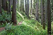 Hiking trail winding between redwoods in Prairie Creek Redwoods State Park, California.