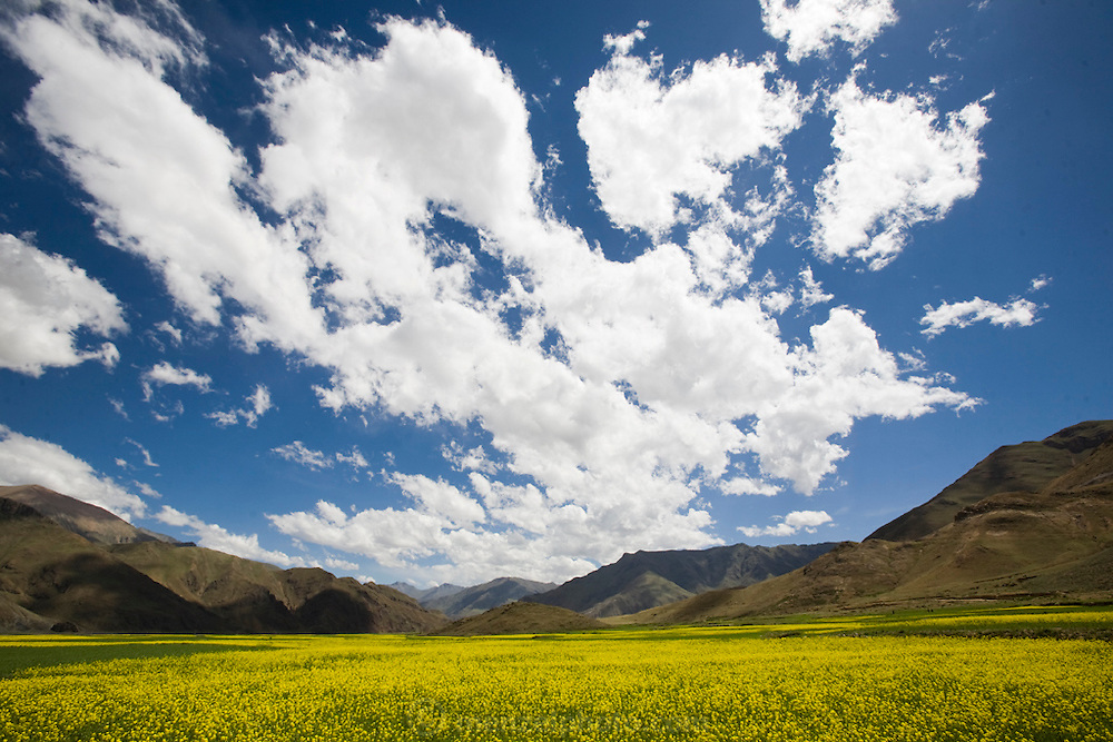 A view of the mustard fields in bloom in the Dingha Valley on the Tibetan Plateau.