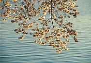 Cherry Blossoms, Branch, West Potomac Park, Tidal Basin, Washington D.C., District of Columbia