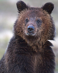Grizzly Bear cub known as Hobo who roams with his mother Blaze around the north end of Yellowstone Lake in Yellowstone National Park