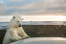 A curious teenage male polar bear investigates the hood of my truck in Kaktovik, an Inupiat village in Arctic Alaska. Every fall, after the community's annual subsistence hunt of bowhead whales, more and more polar bears arrive to feed off the whale carcass scraps. Climate change has affected the migration and diet of polar bears, which have grown increasingly hungry as melting sea ice impairs their ability to hunt seals on the Arctic Ocean ice sheet. Meanwhile, scavenging so close to town brings its own set of challenges to both polar bears and the people of Kaktovik. With a steady stream of tourists and scientists coming to view and study the polar bears year after year, bears grow increasingly accustomed to interaction with humans—the most dangerous predator on the planet. <br /> <br /> BIO: Katie Orlinsky's photography tells stories about the everyday lives of people in extreme situations, capturing the intimate moments of daily life behind larger global issues. For the past six years a large portion of her work has focused on climate change, exploring the transforming relationship between people, animals and the land. Katie is a regular contributor for National Geographic and a member of Prime Collective. Her work is also frequently published in The New York Times, The New Yorker, The Wall Street Journal, Smithsonian Magazine and Marie Claire, among others. Katie has won numerous awards over the course of her career from institutions such as World Press Photo, The Alexia Foundation, Pictures of the Year International and the Art Director's Club. She received her BA at Colorado College and a Masters degree in Journalism from Columbia University. In 2018 she was named the Snedden Chair of Journalism at the University of Alaska Fairbanks, where she taught photojournalism as a visiting professor. <br /> <br /> WEBSITE: katieorlinskyphoto.com<br /> INSTAGRAM: @katieorlinsky