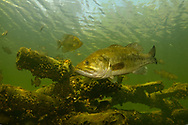 Largemouth Bass near fish crib (with Black Crappie in background)<br /> <br /> Engbretson Underwater Photography