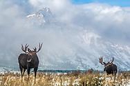 Two Bull Moose, Clearing storm, Grand Tetons, Jackson Hole, Grand Teton National Park