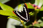 A Lorquin's admiral (Limenitis lorquini) butterfly rests on a rhododendron in Snohomish County, Washington.
