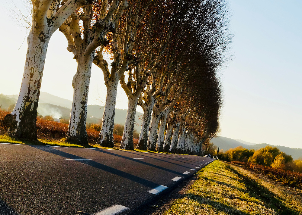 The road leading to the village of Carces in the South of France, runs through vineyards for several kilometers.  Here it is lined with plane trees (sycamore) so common in France.  The plane trees were planted by Napoleon so his troops would have shade as they marched.