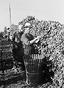 9969-4474. Hop pickers at work. Edward Williams and his brother, at Riverside Hop Farm, Newberg, Oregon. September 19, 1939.
