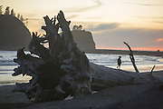 Giant piece of drift wood on 1st Beach in La Push. (Steve Ringman / The Seattle Times)
