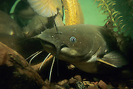 Yellow Bullhead<br />