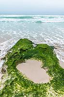 Green seaweed growing on sandstone rocks along the coastline, Arniston, Western Cape, South Africa,
