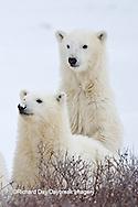 01874-12614 Polar bears (Ursus maritimus)  2 cubs in winter, Churchill Wildlife Management Area, Churchill, MB Canada