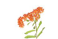 Butterfly Weed (Ascelpias tuberosa)