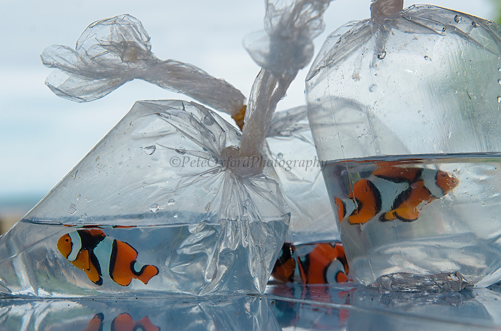 Clown Anemonefish (Amphiprion percale) in Fish Market for pet trade<br /> Biak Island<br /> West Papua<br /> Indonesia