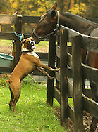 Dr. Murray Goldstein, a rescued boxer, plays with Dont Tell Barbara on Kevin Colston's farm in Bethel on Oct. 24, 2007. Colston said the dog and horse grew up together.