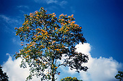 Orange flowers of Immortelle tree,  Erythrina poeppigiana, deep blue sky, Trinidad and Tobago 1961-1963