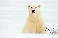 Polar bear in a snow drift