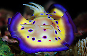 The colourful Chromodoris kuniei on a West Papuan reef