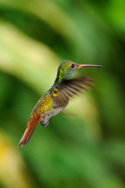 Amazalia Colirrufa / colibríes de Panamá.<br /> <br /> Rufous-tailed Hummingbird / hummingbirds of Panama.<br /> <br /> Amazalia tzacatl.<br /> <br /> Edición de 25 | Víctor Santamaría.