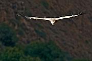 Israel, Golan Heights, Gamla; griffon vulture (Gyps fulvus) in flight