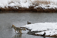 A coyote begins a leap that will take it across a stream along the Madison River, Yellowstone