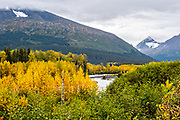 Aspen trees begun turning as autumn approaches along the Snow River in the Kenai Peninsula near Seward, Alaska