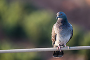 Like a bird on a wire. A pigeon perched on a wire cable