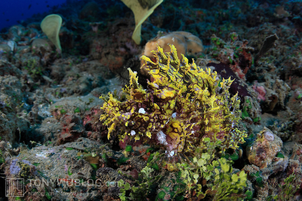 Hidden in plain sight, a yellow weedy scorpionfish (Rhinopias frondosa) showing why it is difficult to find these elusive camouflage specialists. Ambon, Indonesia