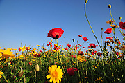 Israeli wildflowers - Red Corn Poppy (Papaver subpiriforme) and Crown Daisy (Chrysanthemum coronarium)