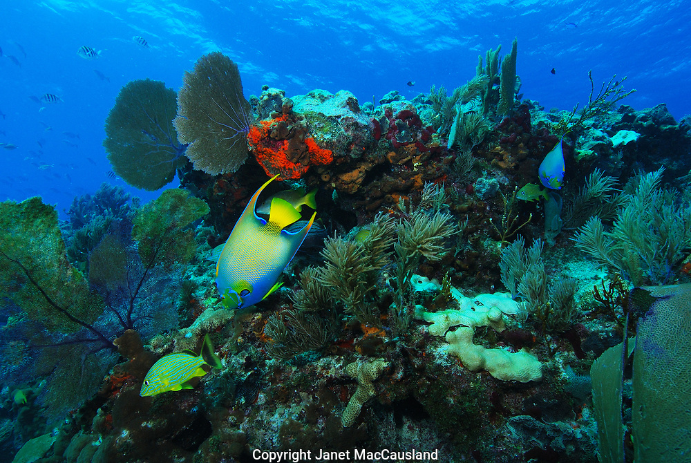 A busy reef scene with pretty, colorful tropical fishes, such as a Queen Angelfish (Holacanthus), corals, sea fans and sponges.