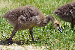 28 May 2014:   Canadian Geese and/or goslings at Dawson Lake located in Moraine View State Park maintained by the Illinois Department of Natural Resources (IDNR) near Le Roy Illinois