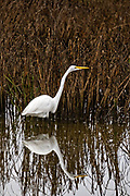 A Great White Egret hunts along the reeds at Gould's Inlet in St. Simons Island, Georgia.