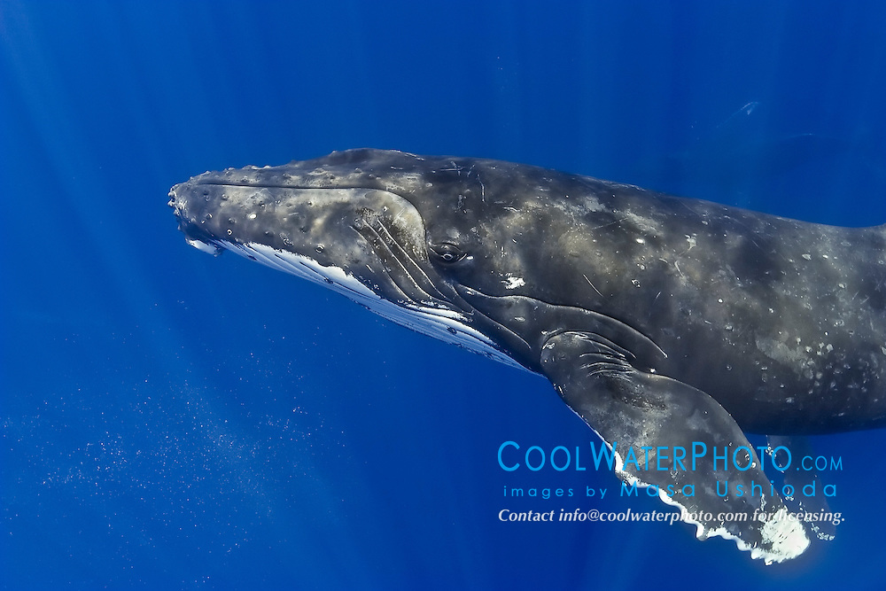 humpback whales, Megaptera novaeangliae, bubbles are from competing males, Hawaii, USA, Pacific Ocean