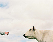Hill farmer, Ron Foster holds his hand out to a British White cow, a rare breed of cattle at his farm in Rosedale on the North York Moors, North Yorkshire, UK
