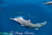 eastern spinner dolphins, Stenella longirostris orientalis, surfacing, offshore from southern Costa Rica, Central America ( Eastern Pacific Ocean )