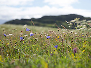 Wildflowers growing on the machair at Cnip, Isle of Lewis, Outer Hebrides, Scotland on 16 July 2018. Machair is a Gaelic word meaning fertile low lying grassy plain, one of the rarest habitats in Europe. Machair only occurs on exposed western coasts of Scotland and Ireland - in the Outer Hebrides they run up the western shores of Uist, Harris and Lewis