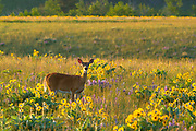 Whitetailed Deer at the base of the Bearthooth Mountains..